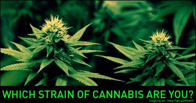 Which Strain of Cannabis are you?